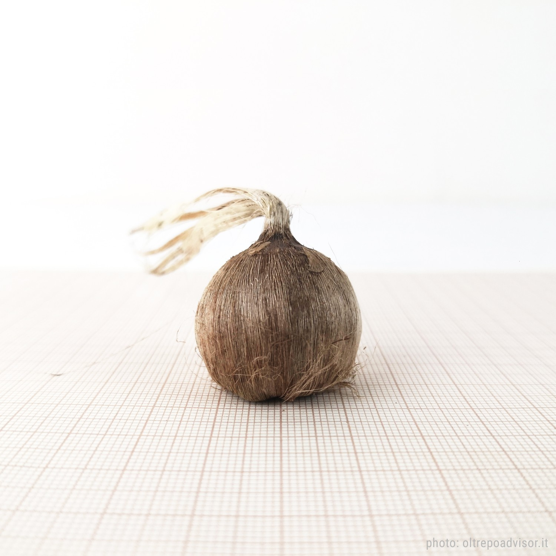 Crocus Sativus bulbs size 8/9