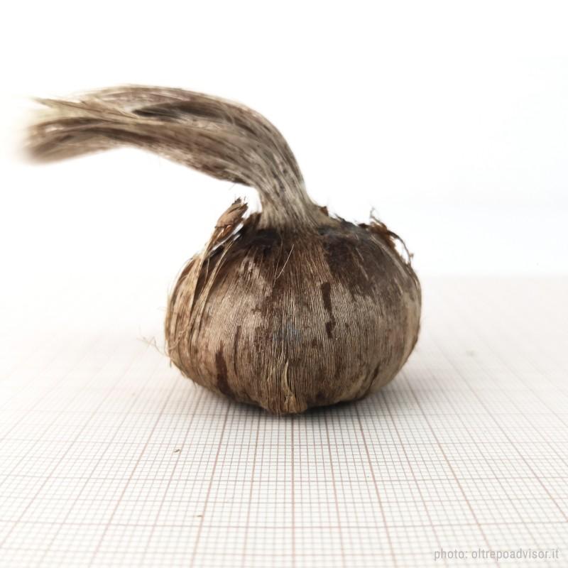 Crocus Sativus bulbs size 10+